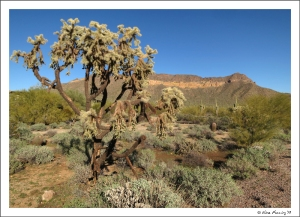 One of the ENORMOUS Cholla Trees in Usery